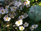 Stauden-Anemone
