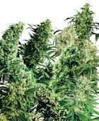 Indoor Mix® Hanfsamen Cannabis Samen