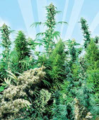 Outdoor Mix Hanfsamen Cannabis Samen