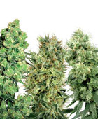 White Label Mix Hanfsamen Cannabis Samen