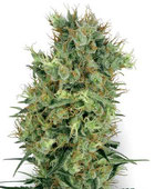 Cali Orange Bud Hanfsamen Cannabis Samen