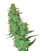 White Label Jack Herer Hanfsamen Cannabis Samen