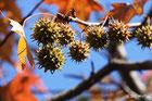 フウの木と実
