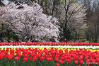 万博記念公園桜まつり