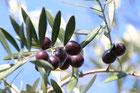 オリーブの花と実