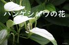 ハンゲショウの花