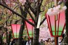 大阪造幣局の桜