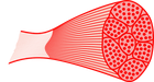 Muskel mit Fasziengewebe