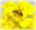 蜂蜜のアレルギー対策効果