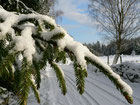 Snow-covered spruce tree branch