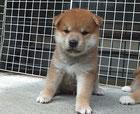 赤柴の子犬の画像