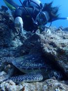 石垣島アオウミガメに寄り添って