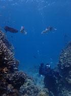 頭上通過!石垣島でコブシメに遭遇