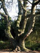 Seesile oak