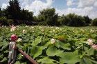un enfant regarde les lotus