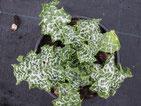 Mariendistel: Mit grün, weißen, stacheligen Blättern, Foto Kirnstötter