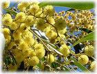 ワトル〜オーストラリア国花
