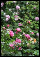 Rosenbeet