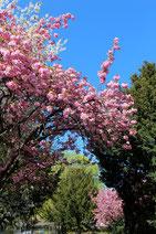 Japanische Kirschblüte in Berlin. Foto: Helga Karl