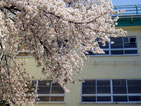 画像;桜咲く学校の校舎
