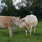 Blonde d'Aquitaine respect bien-être qualité et tendreté de la viande