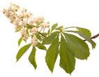 Bach Blüten Nr. 35 White Chestnut Weisse Kastanie