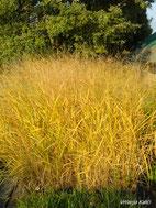 Panicum virgatum Squaw; ove godine nosi prekrasnu žutu boju.