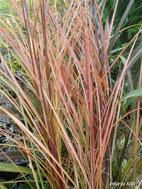 Miscanthus sinensis Gracilimus zna poprimiti i crvene nijanse.