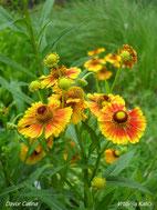 Sorta helenija selektirana u vrtlariji
