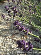 Lavandula Kalić'is deep purple, trajnica, sunce, dry garden, mediterranean. lavanda