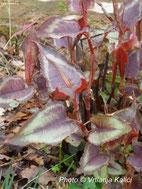 perennial, persicaria kalići's colorshifter, shade border, trajnica, polusjena