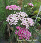 Achillea millefolium Kalići's wondagirl, sunce, trajnica,stolisnik, perennial, sun