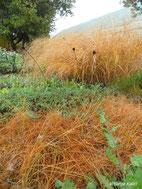 Kod ukrasnih trava  uglavnom prevladavaju narančasti i žuti tonovi