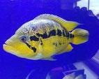 Parachromis loisellei, Barsche, Buntbarsche, Fische