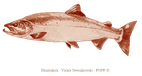 Le saumon atlantique