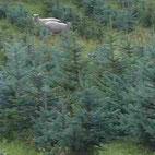 Tannen und Fichten als Weihnachtsbäume - gepflegt von Schafen als Ökorasenmäher