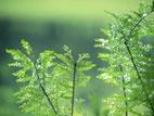画像;露に光るシダ類の葉