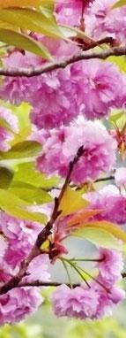 萌黄色の染まる付知渓谷春名残の桜しゃくなげ美しい付知狭不動渓谷しゃくなげ2018年春見ごろ中津川の里山の春真っ盛り中津川付知峡周辺食事処山菜料理たけのこ筍料理GWお出かけ愛知岐阜名古屋日帰り東海三県中京