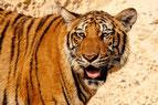 T - wie Tiger
