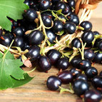 Ribes nigrum   'Geant de Boskoop'