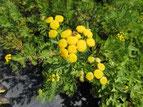 Rainfarn mit gelber Blüte, Foto Kirnstötter