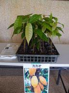 配布植物 カカオ 写真