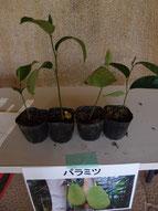 配布植物 パラミツ 写真