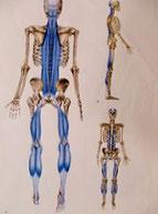 アナトミートレイン筋膜のつながりを示した画像