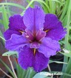 """Iris lousiana """"Jacaranda lad"""""""