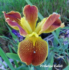 "Iris louisiana ""Cajun sunrise"""