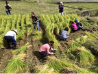 田んぼオーナー制度の稲刈