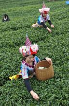 Thé vert bio ,thé vert amincissant, boire du thé vert, thé vert minceur
