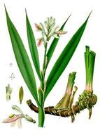 Der Galgant - Geschätzte Heilpflanze Hildegards