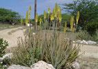 L'Aloe vera barbadensis miller est un véritable trésor de composants nutritionnels